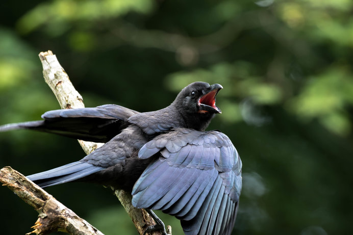 朝のカラスは、鳴き声を上げて餌をねだっている!?
