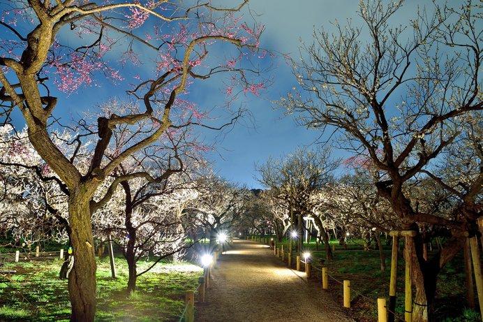 ライトアップされた梅林の散歩道
