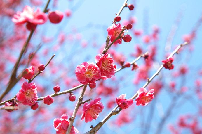 甘い香りを放つ薄紅色の八重寒梅