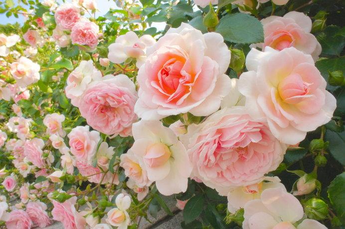 エンジェルピンクの花