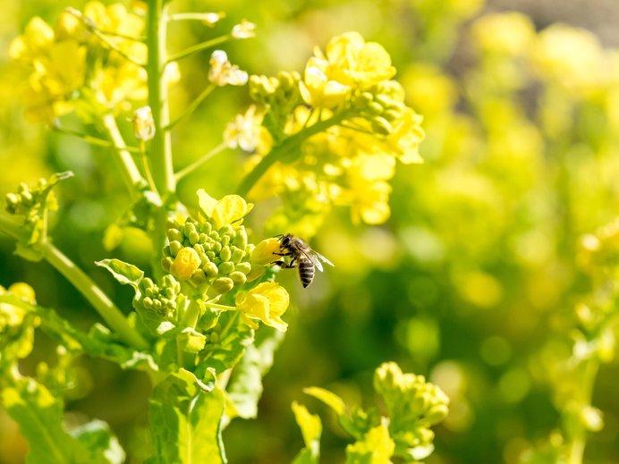 今の時期、3月は主に菜の花の花粉や蜜を集めます