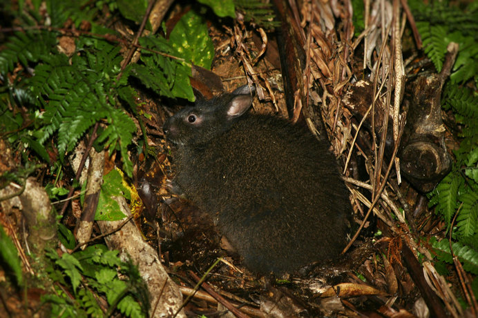 アマミノクロウサギ。かつては島中に生息していました