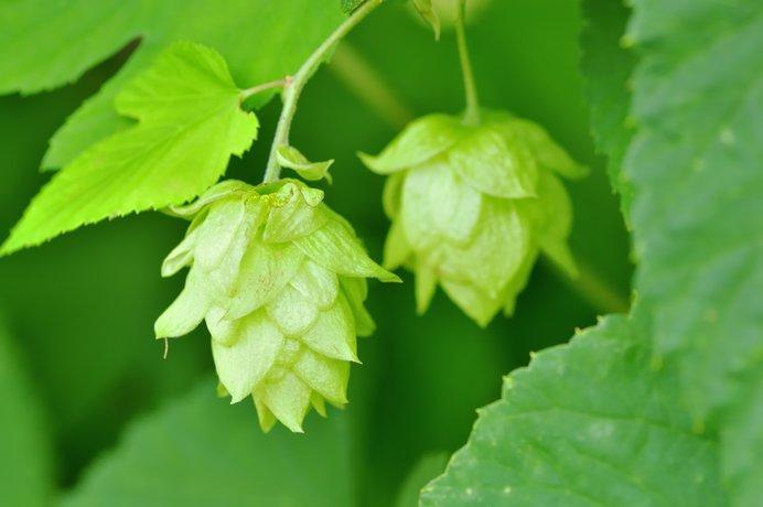 ビールの原料、ホップの実(写真はイメージです)