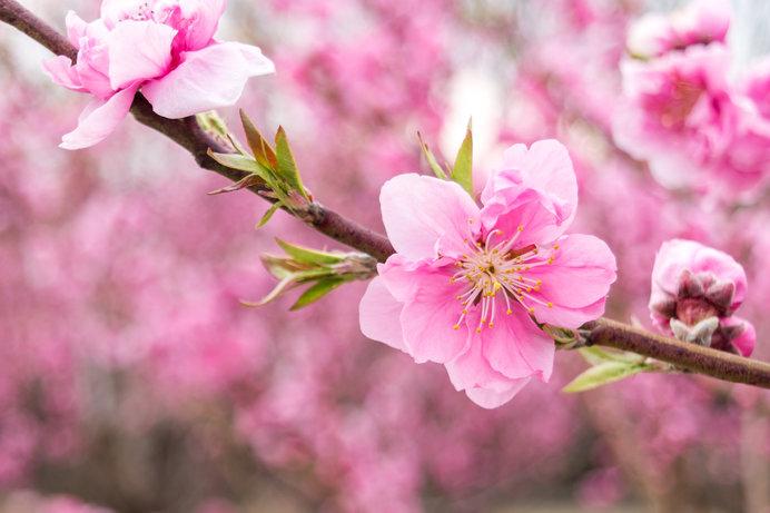 桃の節句!邪気払いの「桃」の花と「梅」「桜」の区別がつきますか?