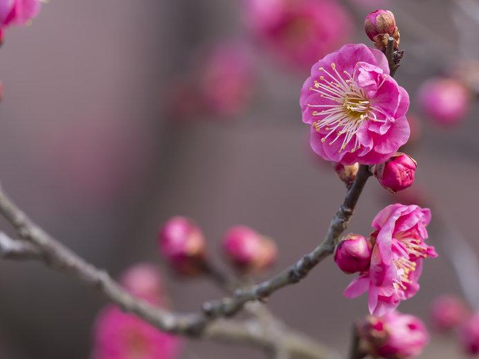 梅の花(紅梅)