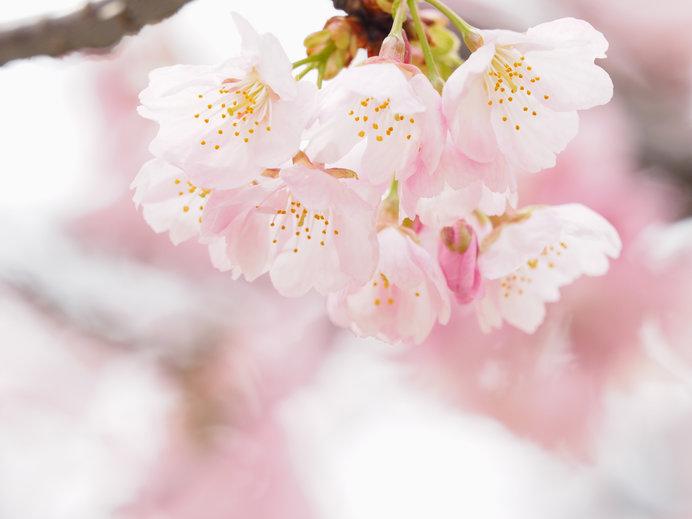 桜の花 サクランボのように花柄が長いのがわかります