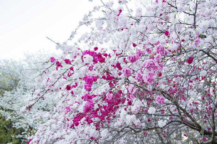 「源平桃」の開花時期は、桜と同様の季節とやや遅め