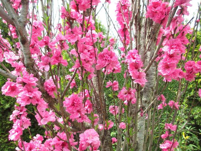 花が天に向かってほうき状に咲く「照手桃」