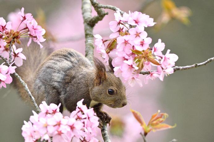 北海道の桜の開花はGW以降。