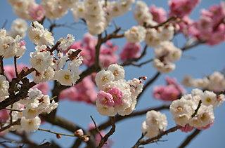 1本の梅の木に白と紅が!! なぜ同じ木に違う色の花が咲くのか。