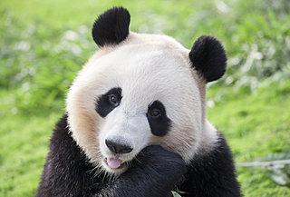 3月11日の「パンダ発見の日」に伝わる悲しい歴史とは!?
