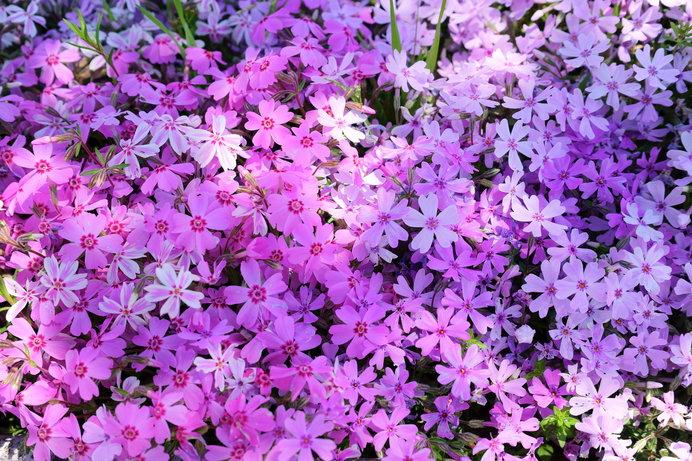 「芝桜」……確かに桜の花に似ています