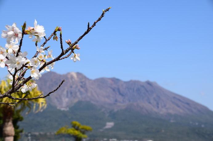 可憐な桜の背景には、雄大な桜島!