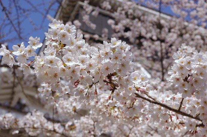 桜越しに臨む、小倉城。小倉城庭園の散策もぜひ!