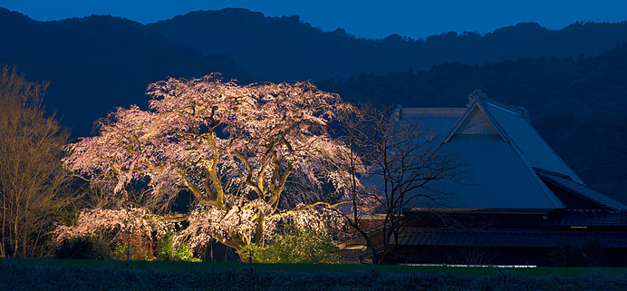 樹高15m、枝張りは約25m。圧巻の形容がふさわしい宝珠寺のヒメシダレザクラ