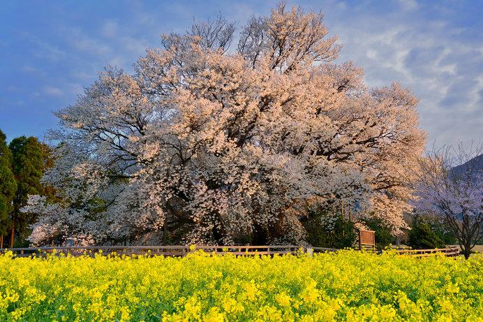 樹齢400年余り、樹高14m、枝張東西32m、南北26mの山桜、一心行の大桜