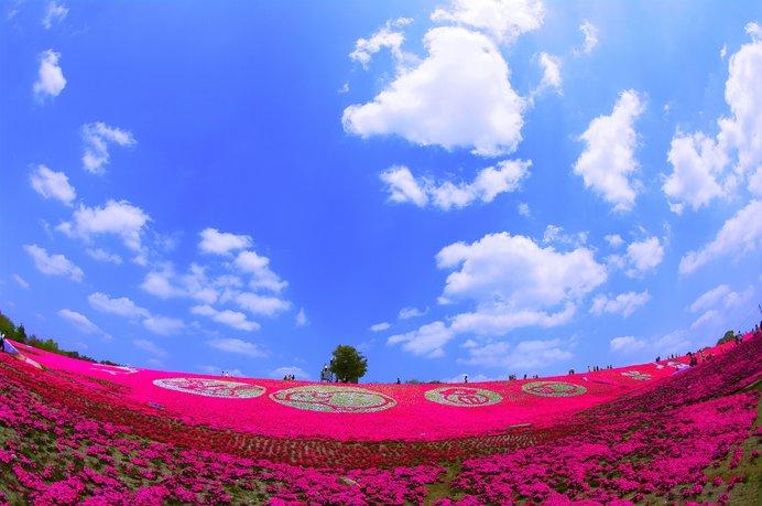 青空と濃いピンクの芝桜とのコントラストが鮮やか