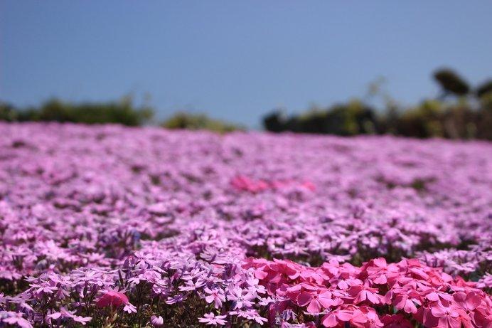 その名のとおり、まさに「花のじゅうたん」