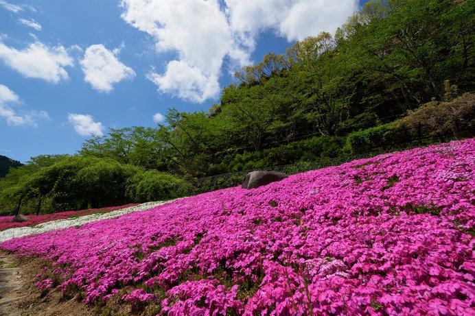「花しょうぶ園」ですが、芝桜も見事!