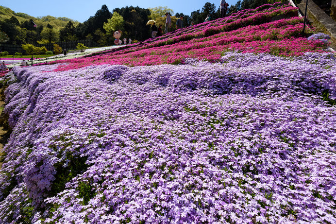 知る人ぞ知る芝桜の名所……なんと無料!