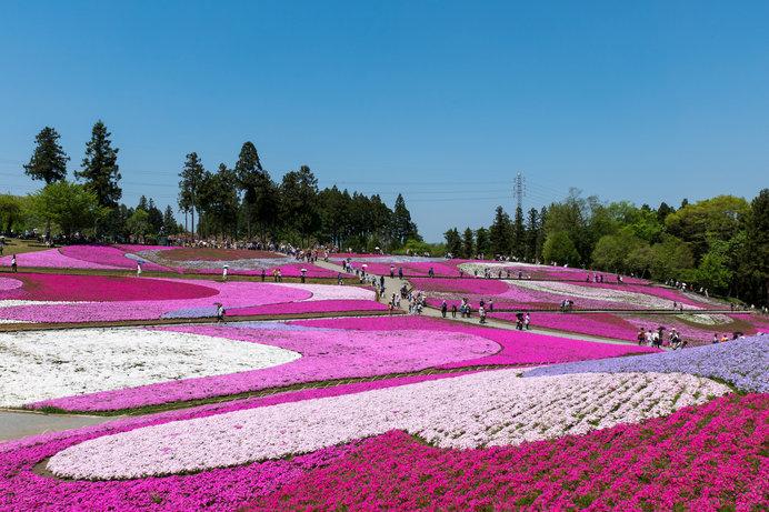 9種類の芝桜が織りなす花アート