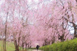 今年の桜に逢いに行こう!北関東のおすすめスポット<桜の名所特集2018|関東>