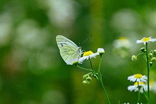 蝶とは一瞬の幻=IMAGOか?七十二候「菜虫化蝶(なむしちょうとなる)」