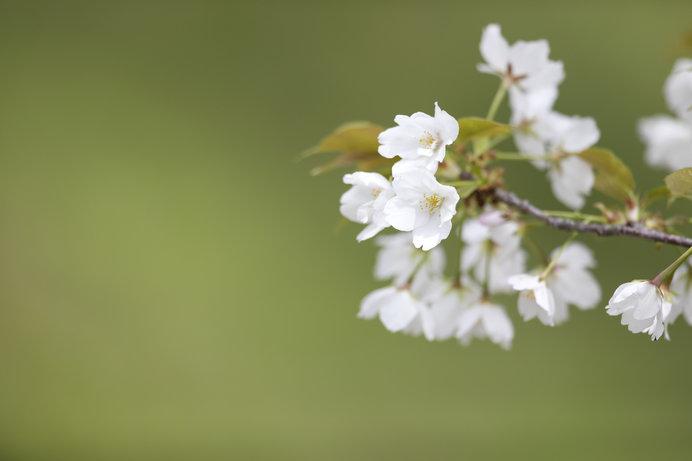 お花見気分もたけなわ。日本の花見の源流とは