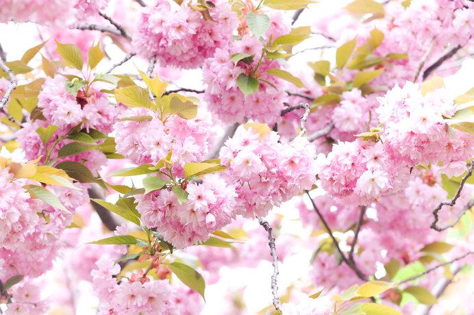 桜は染井吉野だけにあらず。初花から余花まで風情も趣も千差万別
