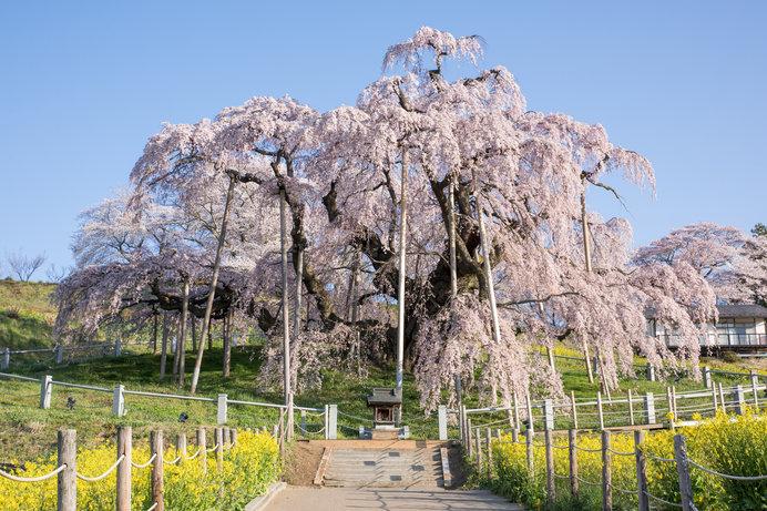 春爛漫の4月「卯月」。満開の花時が訪れる桜前線北上中!_画像