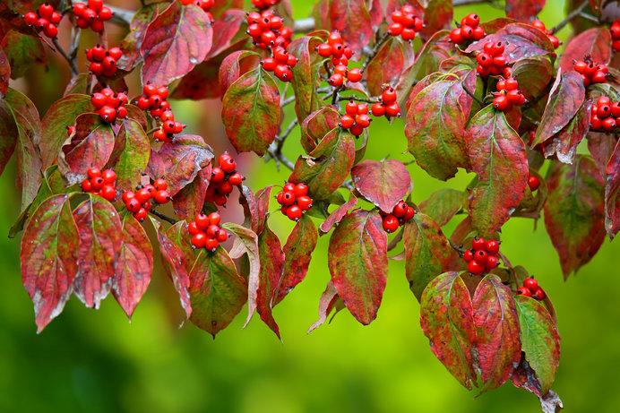 秋には赤い実をつけ、葉も紅葉します