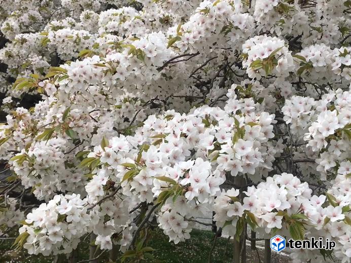 幻の 桜探して いざ京都