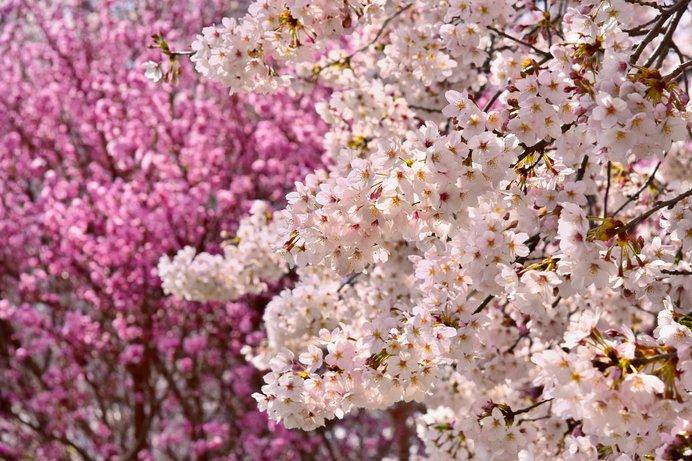 桜の花。染井吉野と八重桜の違いをご紹介します
