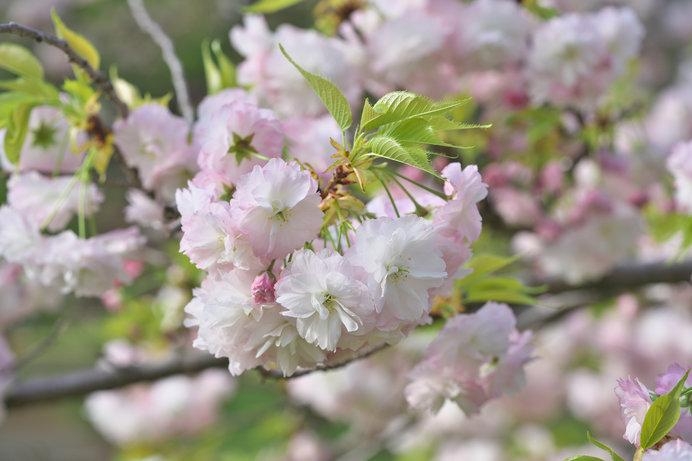 八重桜の花びら、多いものでは300枚近くになるものも