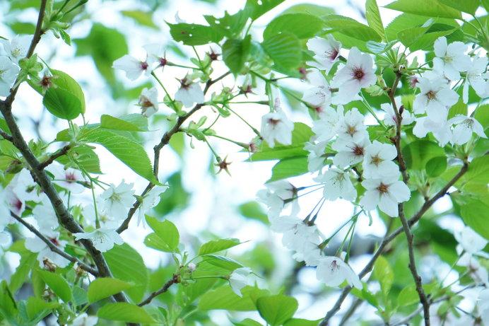葉桜もきれいな染井吉野。八重桜は染井吉野の満開からやや遅れて見ごろを迎えます