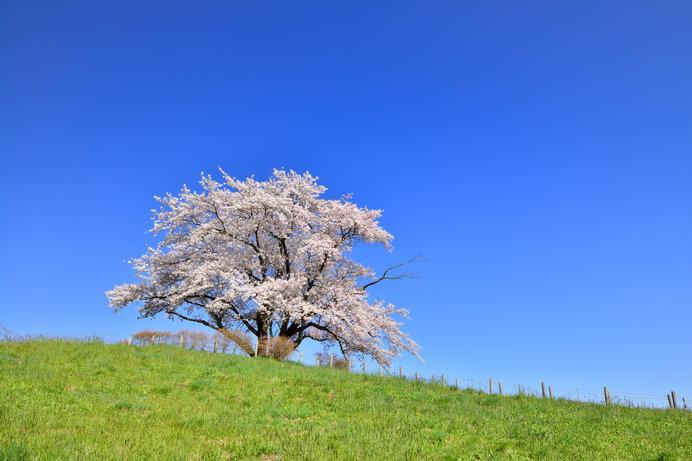全国にある染井吉野。実はクローン桜でした