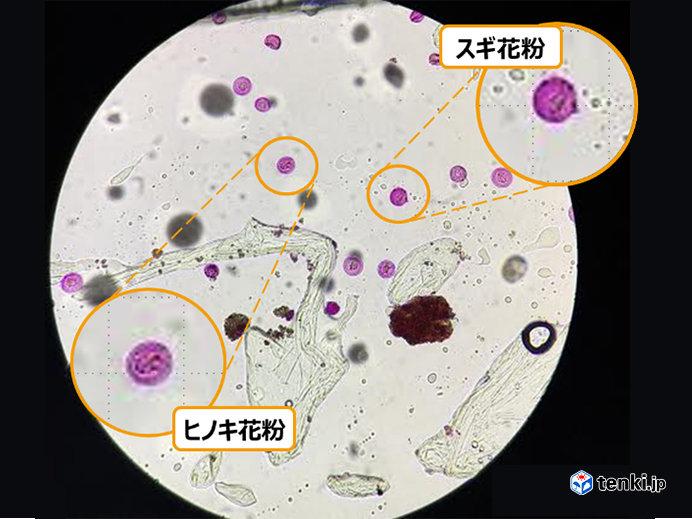花粉はどのように観測されているの?