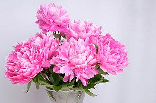 これから見頃!和洋にマッチする芍薬(シャクヤク)の花の魅力