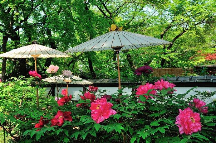 箏の音が流れるお庭でゆったりと座る牡丹さんたち