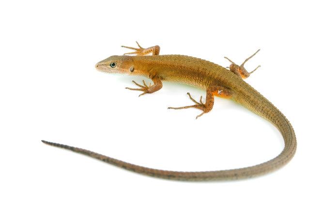 カナヘビ。ツヤのないからだと長い尻尾が特徴