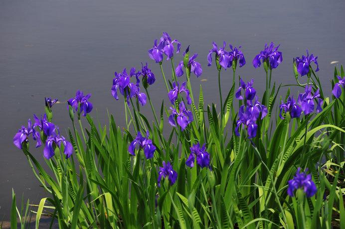 万葉集や伊勢物語の中でも詠われた「杜若」が咲くころ