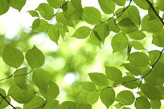 立夏!! 真みどりの葉っぱなのに「青葉」と呼ばれる理由とは?
