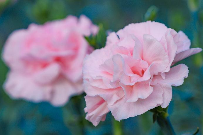 5月の花といえばカーネーション意外と知らないカーネーションの歴史