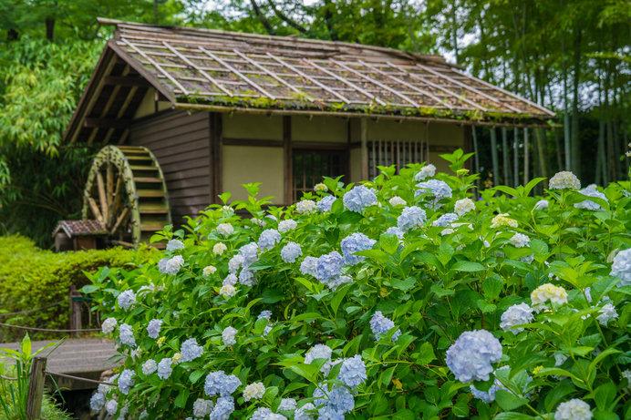 水車小屋周辺はアジサイが咲くスポット!
