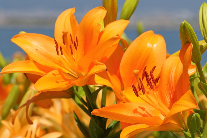 初夏を彩るゆりの花