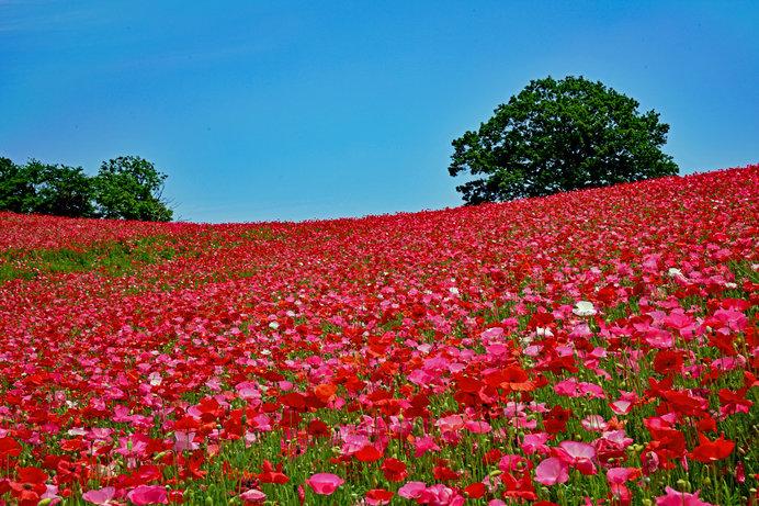 秩父の芝桜の時季はもう終わり……次は天空のポピーへ!