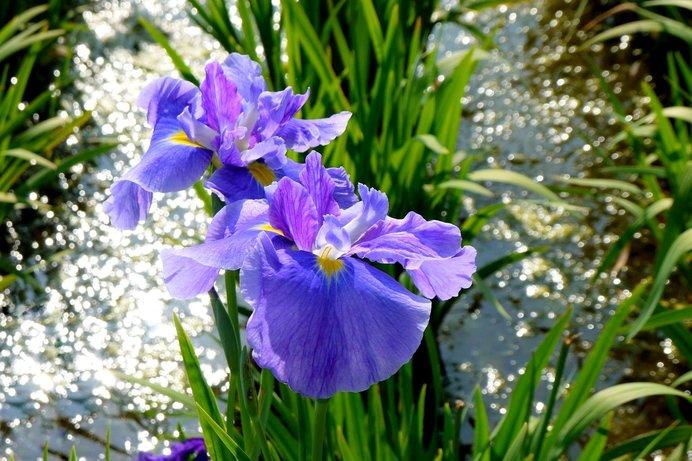 河川敷が花菖蒲で埋め尽くされ、地元市民の憩いの場に