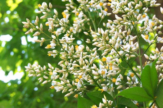 初夏には白い花が咲く南天。実はてるてる坊主をつるすのにふさわしい?