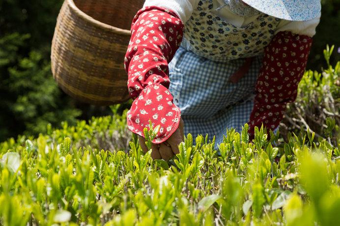 5月上旬は茶摘みの最盛期