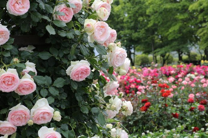 ただいま見頃の薔薇(バラ)、薔薇のある生活を楽しもう!